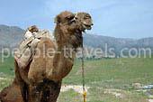 Las fotos de viaje en camello - Galeria de fotos de Uzbekistán